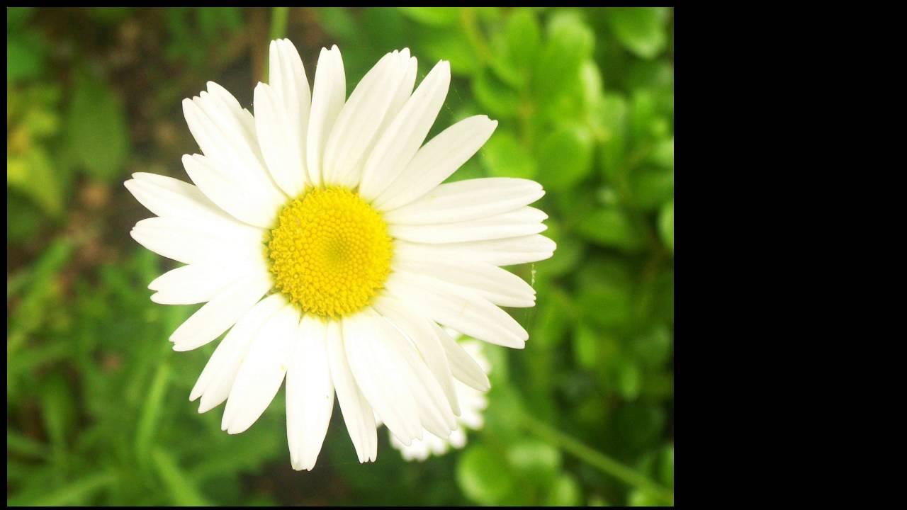 Daisy flower meaning in marathi makeupgirl 2018 daisy flower meaning in marathi izmirmasajfo Image collections