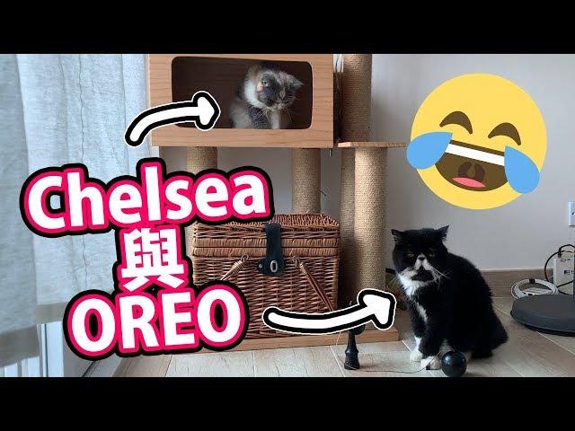 【貓奴日常】Chelsea與Oreo。