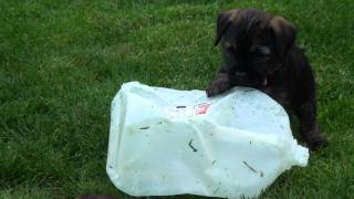 Kilcreggan Border Terrier Puppies Playing With Milk Jug - 5 Weeks 5 Days