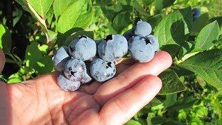 КАК САЖАТЬ ГОЛУБИКУ, БРУСНИКУ и другие лесные ягоды в саду и на даче/Садовый мир рекомендует