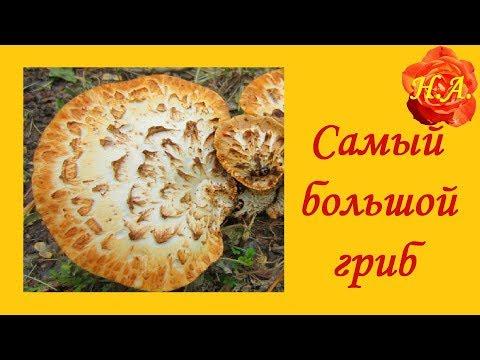 Грибы на пнях Трутовик Самый большой гриб��
