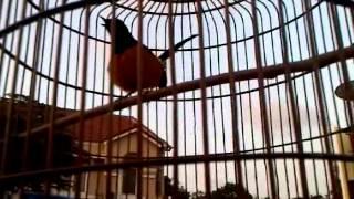 Burung Murai Batu Borneo Mantap