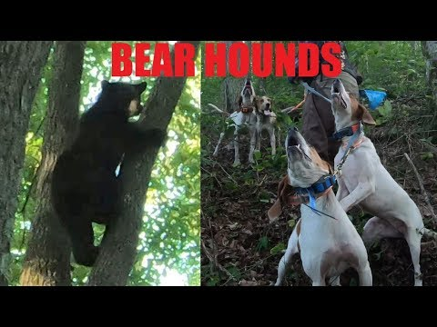BEAR HUNTING WITH DOGS - QUICK TREE
