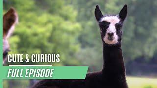 Cute & curious little fur friends - Concerns over an alpaca foal