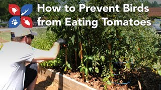 Do My Own Gardening - How to Prevent Birds from Eating Tomatoes