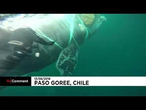 euronews (deutsch): Wal aus Fischernetz befreit