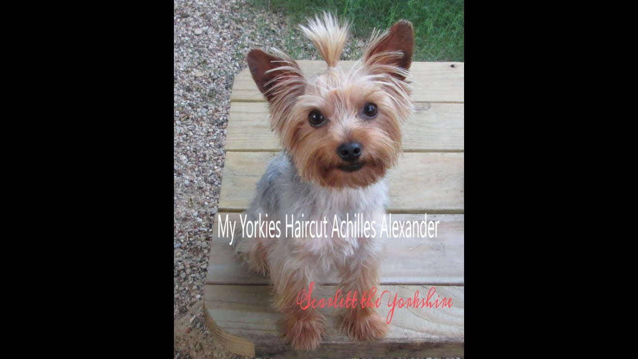 my yorkie gets first haircut - youtube