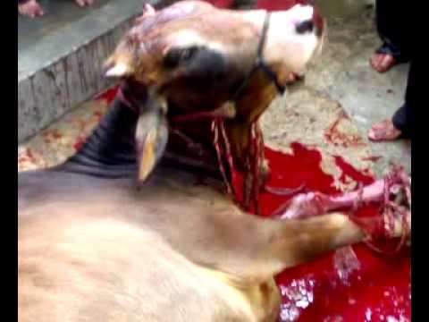 KUrbani=2009.......taja cow - YouTubeQurbani Cow 2009