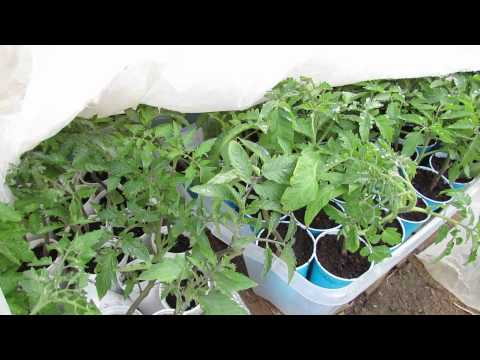 unexpected-frost-and-tomato-damage:-tips-and-lessons-learned