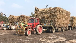 Belarus 510 | Massey 375 | Tractor Real Power Pulling Sugarcane Trailer | Punjab Tractors