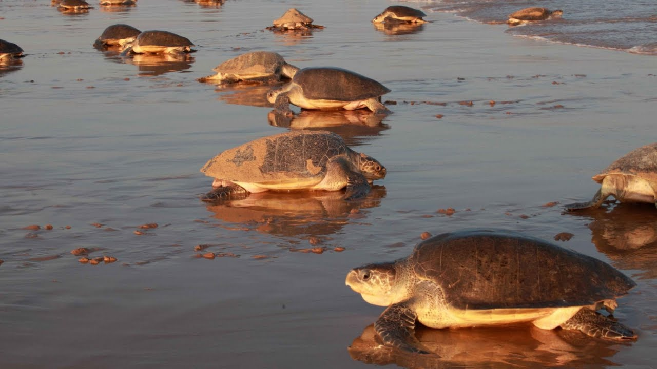 Olive Ridley Turtles Nesting on the Beach
