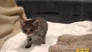 最も小さい猫の一つ 「クロアシネコ」 の赤ちゃん thumbnail