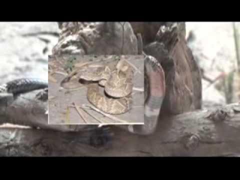 02 Serpientes. Especies peligrosas, tipos de accid...