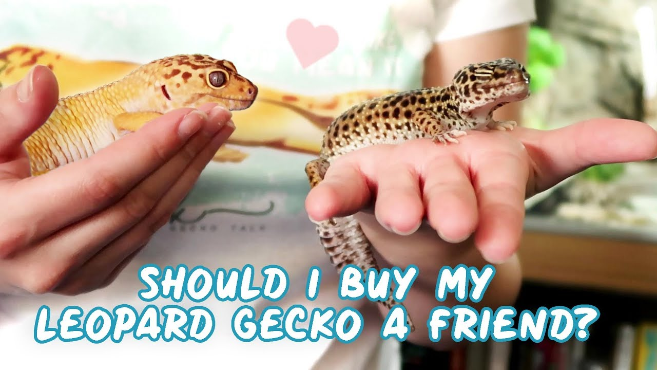 Housing 2 Or More Leopard Geckos Together Updated Youtube