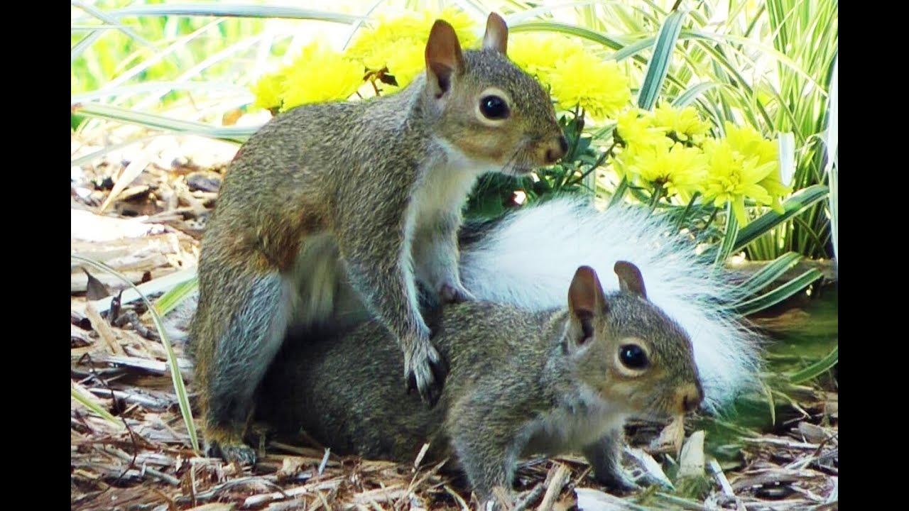 Image Chipmunk Cute Wallpaper White Tail Drunk Squirrel Play Mating Fyv 1080 Hd Youtube