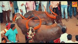 HD | म्हैस पळवण्याच्या शर्यती | मंगळवेढा येथे झालेल्या शर्यती | buffalo race in Maharashtra | 2019