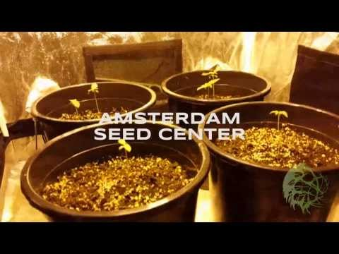 Amsterdam Seed Center Grow Report - Sensi Star & Nebula by Paradise Seeds
