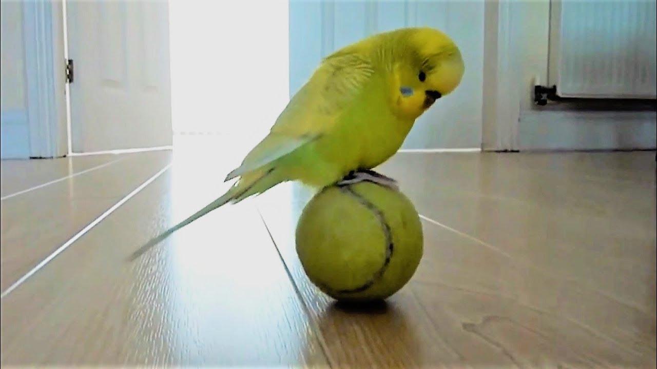Une Perruche En Equilibre Sur Une Balle De Tennis Youtube