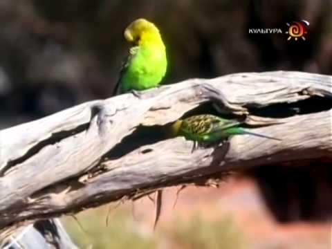 BBC Волнистые попугайчики