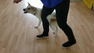 保護犬 ののちゃん 基礎トレーニングや社会化をしています。 人とのコミュニケーションを深め、楽しく頭の体操、ストレス解消で簡単なドッ...