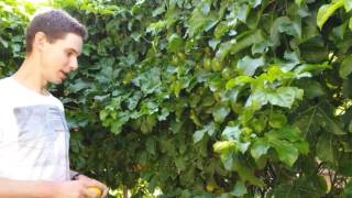 How to Grow Panama Gold Passionfruit in Perth, Western Australia