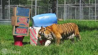 Tigers Rayn, Ty, and Crysta Celebrate Big Birthdays at Turpentine Creek Wildlife Refuge