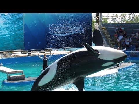 Miami Seaquarium Killer Whale & Dolphin Show - Full Show 11/5/17 (1)