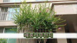 @배롱나무 전지작업