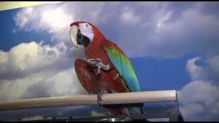 Попугай Ара Зеленокрылый, мальчик.Дрессированный.