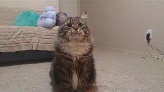 Смешные коты. Сибирская кошка. Funny cats