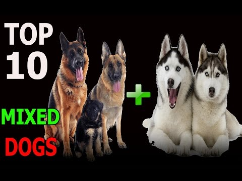 Top 10 incredible mixed dog breeds | Top 10 animals