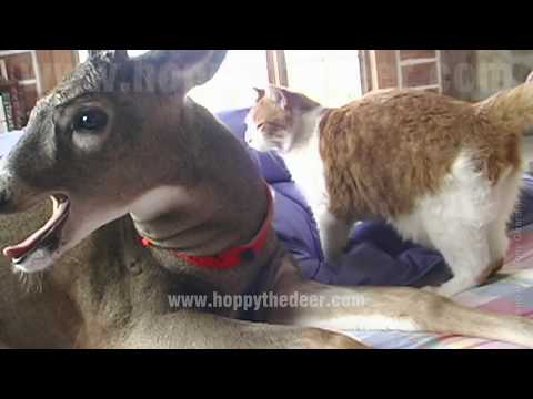 CAT LICKING DEER
