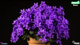 Timelapse Campanula Ambella Purple OK Plant HD
