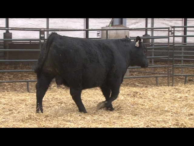Schiefelbein Angus Farms Lot 188
