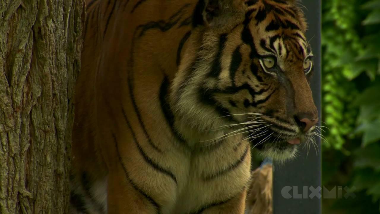 Wissensmix Warum Ist Der Tiger Vom Aussterben Bedroht Youtube