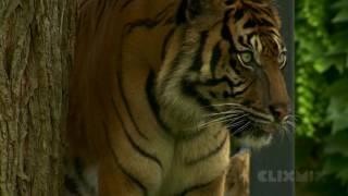 Wissensmix: Warum ist der Tiger vom Aussterben bedroht?
