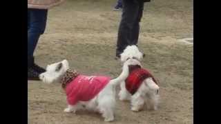 美浜PAの、無料ランで元気に走りる白犬さん!
