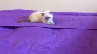 Elite British - элитный питомник британских кошек, котов, котят