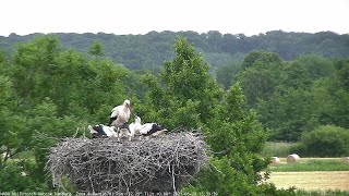 Preview of stream White Stork - Webcam Hamburg