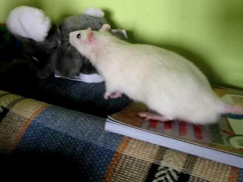 Прикольные фото смеющейся мыши крысы фото 347-860