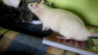 Мышь и крысы :)