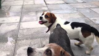 Queenie Beagle Cross Dachshund.mov