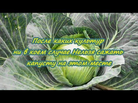 После чего ни в коем случае нельзя сажать капусту | капусту | случае | сажать | нельзя | после | seedlings | floristry | чего | коем | cannabis