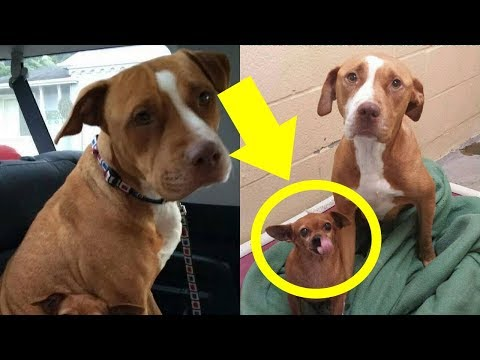 This Pit Bul Wouldn't Leave The Shelter Without The Chihuahua He Was Protecting So The Owner ...