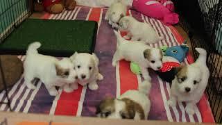Coton Puppies For Sale - Kara 5/4/21