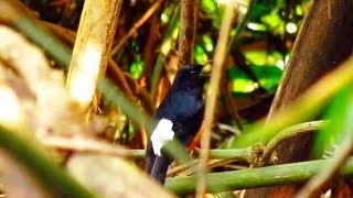 Repeat youtube video Wild Shama singing เสียงนกกางเขนดงร้องในป่า
