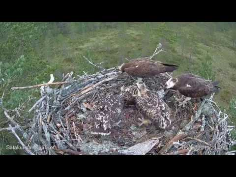 ТРИ ПТЕНЦА. ГНЕЗДО СКОПЫ. САТАКУНТА. ФИНЛЯНДИЯ 5-7-19 - THREE CHICKS.OSPREY'S NEST.SATAKUNTA.FINLAND