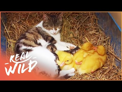 Cat Adopts Baby Ducklings | Animal Odd Couples | Real Wild  Short