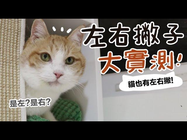 黃阿瑪的後宮生活-左右撇子大實測-貓也有左右撇