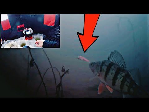 AMAZING Underwater Ice Fishing Perch In CRYSTAL CLEAR Water!